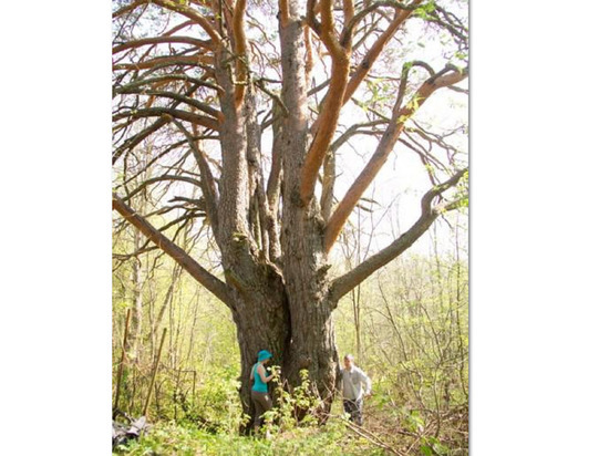 Костромские рекорды: Уромская сосна из Кологривского района может стать «деревом года»