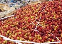 Около 13 тонн фруктов уничтожили трактором под Себежем