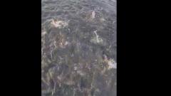 На Сахалине корюшка выбрасывается из воды