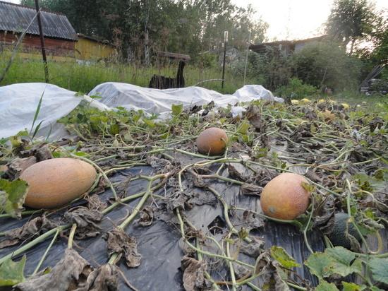 Выращиваем дыни в Хабаровском крае: что нужно знать