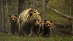 В Хакасии егеря сняли на камеру медведицу с медвежатами