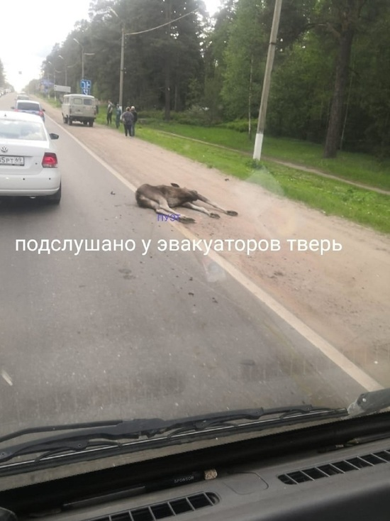 В Твери перед базой «Динамо» под колесами автомобиля погиб лосёнок