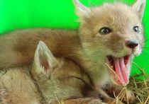 В ивановском зоопарке потомство появилось у филинов, степных лисиц и овец