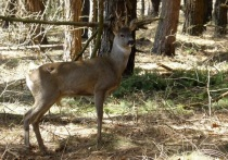 В Калужской области отмечен рост численности лосей, косулей и благородных оленей