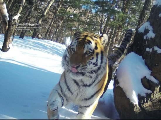 «Вскрыл бобровую хатку и, скорее всего, извлек ее хозяина»: специалист о меняющихся вкусах тигров в Хабаровском крае