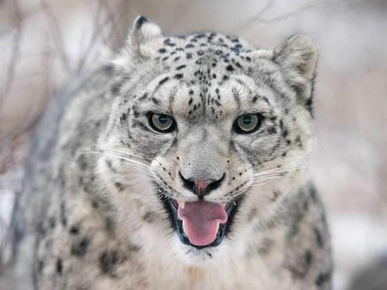 Саяно-Шушенский заповедник предложит фото-охоту на снежных барсов и медведей