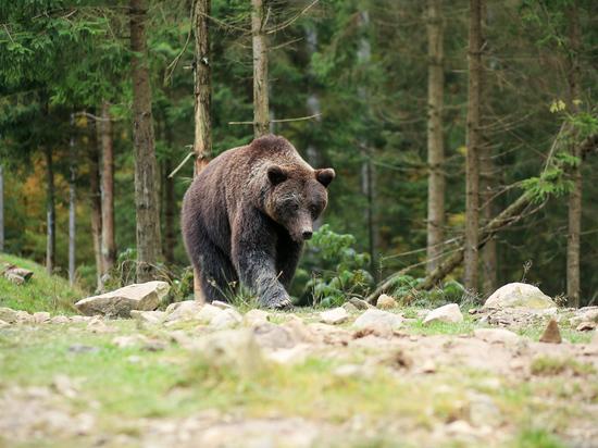 Жителей Подмосковья снова напугал медведь: жалуются в полицию