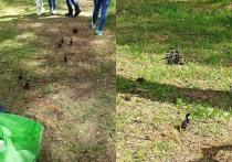 В Петрозаводске в Ботаническом саду утята вывались из дупла