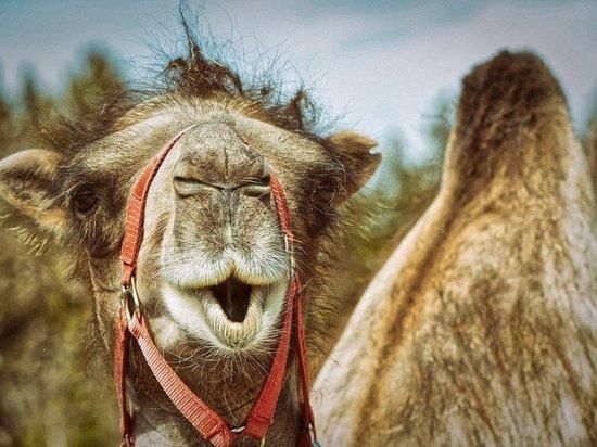 Жительница Карелии привезла верблюда без сопроводительных документов