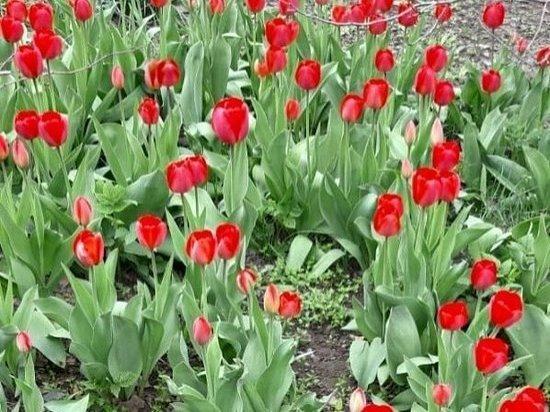 Лучшие фотографии тюльпанов выбрали в Серпухове