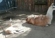 В зоосаде Комсомольска-на-Амуре у лам родился малыш