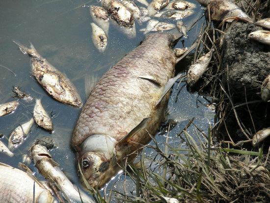 То, что в реке гибнет рыба, местные сообщали уже не раз