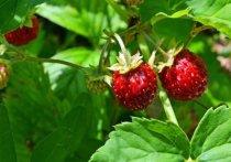 Сезон дикорастущих ягод вот-вот начнется в столичном регионе, тем не менее полакомиться собственноручно собранными плодами москвичам не удастся
