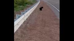 Под Улан-Удэ на автомобильную трассу выбежал медвежонок
