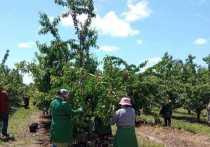 Урожай черешни собирают на Ставрополье