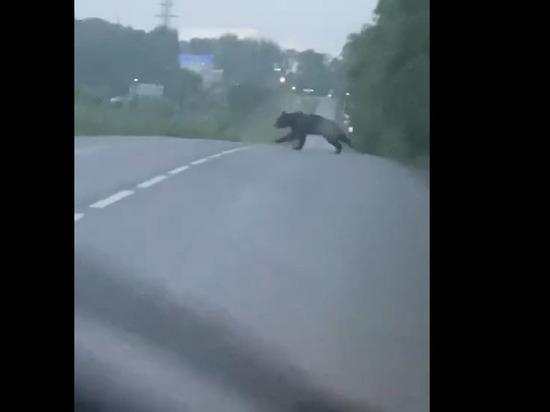 Очевидцы сняли на видео медведя, перебегающего дорогу в Кемерове