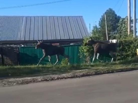 По поселку Сернур в Марий Эл бегали два лося