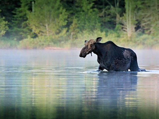 В Нижегородской области  браконьер заплатил за убитого лося 400 тыс. рублей