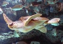 Морские черепахи северной части Тихого океана очень чувствительны к температуре, что не позволяет им плавать через холодную восточную часть Тихого океана