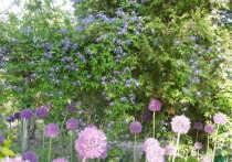 Агроном с 40-летним стажем, наш колумнист Людмила Калинина писала о княжиках. Эта лиана, неприхотливая, обильно цветущая, с разнообразием форм и оттенков цветения стала настоящим открытием для многих садоводов. Сегодня расскажем, как правильно за ними ухаживать.