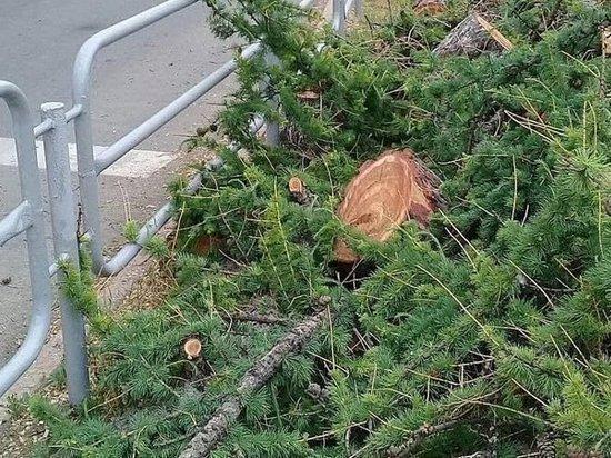 Уникальное вековое дерево росло на пересечении проспекта Ленина и улицы Красной