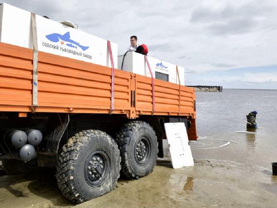 Больше 750 тысяч мальков чира выпустили в реку Ямала