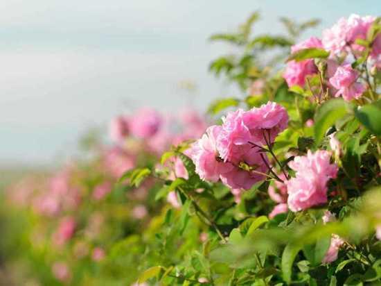 Спешите видеть и снимать: в Крыму зацвела эфиромасличная роза