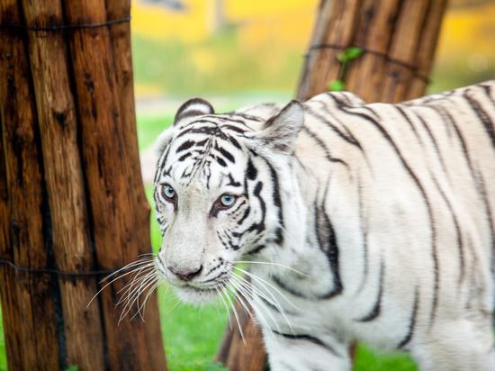 """В зоопарке """"Лимпопо"""" поселилась белая тигрица"""