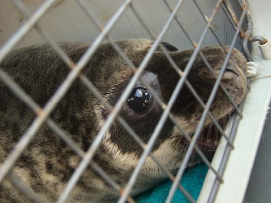 Четверых серых тюленей выпустили в Финский залив с военного корабля
