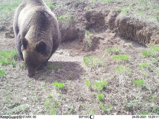 Медведь и косуля попали в фотоловушку в национальном парке «Чикой»
