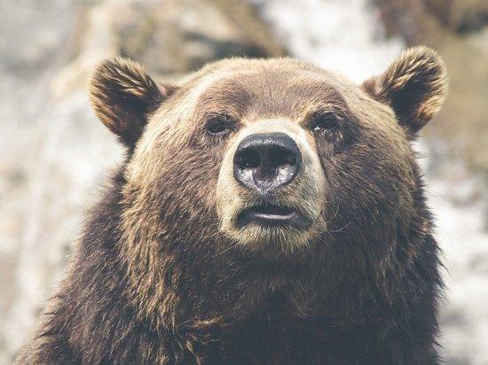 Подошедший к кузбасской деревне медведь попал на видео