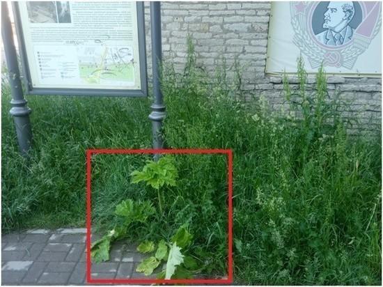 Летний сад Пскова заполоняет борщевик