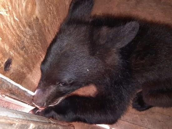 Медвежонка-сироту спасли в Приморье