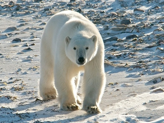 Основной целью экспедиции является подсчёт численности популяции белого медведя и его миграциях, но есть и более широкие задачи – оценка того, что происходит с экологией северной шапки планеты.