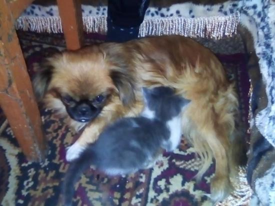 Собака стала матерью для двух осиротевших котят в Забайкалье