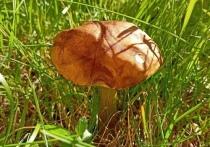 В Петрозаводске нашли первый в сезоне гриб