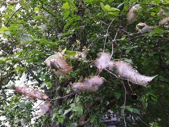 Петербургские деревья пожирает горностаевая моль