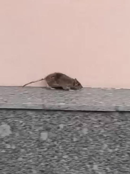 В центре Ярославля гарцуют крысы