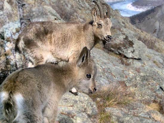 Настоящий триллер: охота беркута на горного козленка попала на видео в Красноярском крае