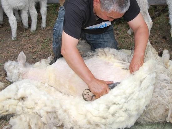 В Калмыкии предстоит постричь почти миллион овец