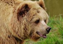 Сбежавший из «Курорта Пирогово» под Мытищами медведь был замечен сегодня, 11 июня, около 11 часов возле Учинского водохранилища в Пушкинском районе Подмосковья