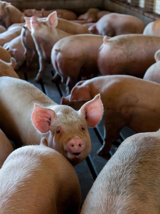 В споре жителей Опочки и Великолукского свинокомплекса суд поддержал народ