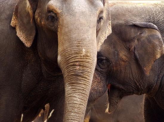 Слонам в Индии начали массово делать тесты на коронавирус