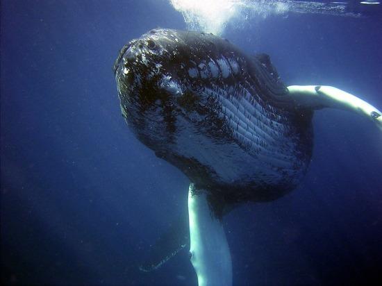 СМИ: аквалангист в США выжил после того, как его проглотил кит