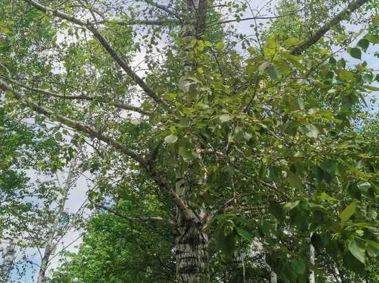 «Скоро скажут, что растения болеют коронавирусом»: теряющие листву тополя в Хабаровске спровоцировали спор в соцсети