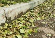 Жители краевого центра обеспокоены массовым сбросом тополями зеленой листвы