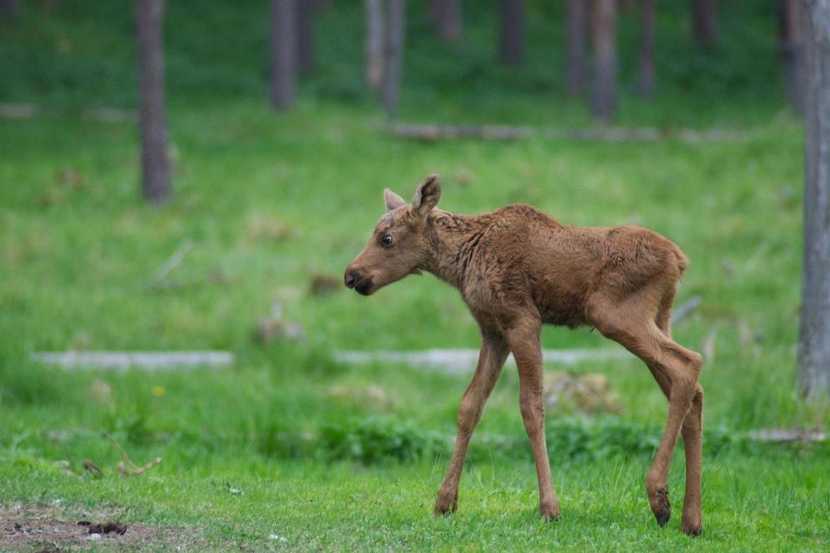 Спасенного в лесу под Кировым лосенка будут выхаживать на Сумароковской лосеферме в Костроме