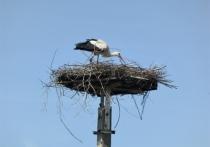 В рукотворном гнезде аистов под Калугой впервые появились птенцы
