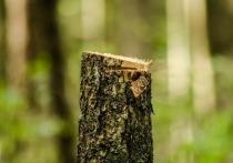 Горожане жалуются на вырубку деревьев при строительстве дороги в Петрозаводске