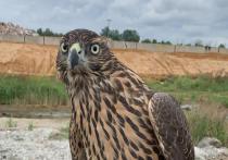 Московские сокольники обратились к властям с просьбой обратить внимание на массовое уничтожение хищных птиц, которое безнаказанно практикуется по всей России